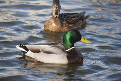 Mallard ducks Stock Image