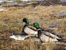 Mallard ducks. Taken in cap-rouge, quebec Stock Photography