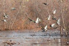 Mallard ducks taking flight. Anas platyrhynchos, California, Lower Klamath National Wildlife Refuge, near Tulelake, Taken 11.13, Copyright David Hoffmann Stock Photo