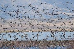 Mallard ducks taking flight. Anas platyrhynchos, California, Tulelake, Lower Klamath National Wildlife Refuge Royalty Free Stock Photo
