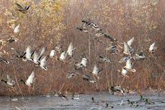 Mallard ducks taking flight. Anas platyrhynchos, California, Tulelake, Lower Klamath National Wildlife Refuge, Taken 11.13, Copyright David Hoffmann Stock Photo