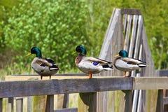 Mallard ducks. Three mallard ducks sitting the on rail Stock Photo
