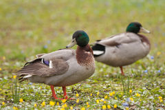 Mallard ducks. Two male mallard ducks (Anas platyrhynchos) resting on the green grass Royalty Free Stock Image