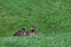 MALLARD DUCKS. Two mallard ducks resting on the lawn in the city park Royalty Free Stock Images