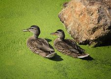 Mallard ducks. Two similar mallard ducks swim in a river of green duck weed Stock Images