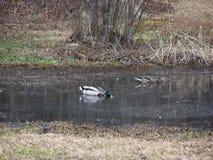 Mallard ducks un paio che beve dallo stagno Immagini Stock