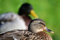 Mallard ducks up close. Close up portrait of a pair of mallard ducks Stock Image
