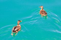 Mallard ducks Royalty Free Stock Photography