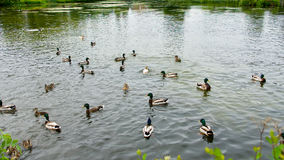 Mallard ducks on a village pond. Royalty Free Stock Image