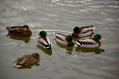 Mallard Ducks Wading in Frigid Waters Royalty Free Stock Photos