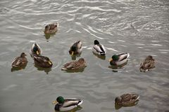 Mallard Ducks Wading in Frigid Waters Royalty Free Stock Image