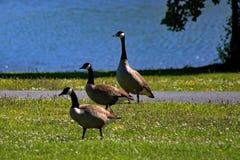 Mallard Ducks Walking. Across grass, with blue water in background Stock Photos