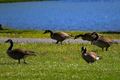 Mallard Ducks Walking. On Green grass, with blue water in the background Stock Image