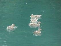 Mallard ducks in the water of a lake. Mallard duck bird animal colorful water lake pond wild nature Stock Image