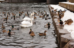 Mallard ducks and white swans Stock Images