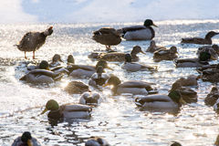 Mallard ducks in a winter park. Mallard ducks swim in cold waters of winter lake Royalty Free Stock Images