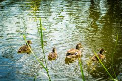 Mallard ducks, young baby birds duck on the canal water. Scotland, UK stock image