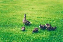 Mallard dziecka i matki kaczki je trawy w parku Fotografia Royalty Free