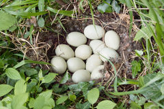 Mallard eggs. Nest with several eggs of mallard Stock Photography