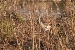 Mallard emerging from its hiding place in a low wintery sun Royalty Free Stock Photo