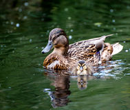 Mallard familiy. Mother and baby mallard swimming gin the water Royalty Free Stock Image