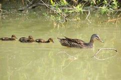 Mallard family. There is a mallard family in the photo Stock Photo