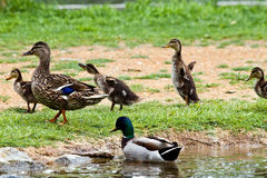 Mallard Family. Mallard Duck family exiting the water Stock Image