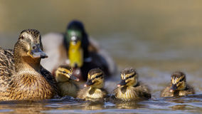 Mallard family (Anas platyrhynchos). A family of Mallard Ducks (Anas platyrhynchos) swimming together Stock Photography