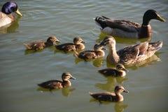 Mallard family. Mallard ducks and ducklings in a lake Stock Image