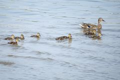 Mallard family. The female mallard and its ducklings are swimming in river. Scientific name: Anas platyrhynchos Royalty Free Stock Photo