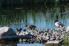 Mallard family, female, male and ducklings. Male and female Mallards, Anas Platyrhynchos, with duckling in their natural habitat Royalty Free Stock Image