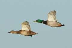 Mallard Family in flight. A pair of Mallard Ducks cruising over the wetlands at Forsythe NWR, NJ Stock Images