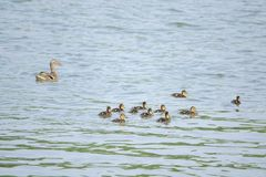 Mallard family. A group of ducklings of Common Mallard in river. Scientific name: Anas platyrhynchos Stock Photo