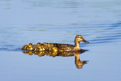 Mallard family. Mother Duck (Anas platyrhynchos) with her new born offspring in the Netherlands in spring Stock Photos