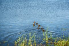 Mallard family swimming on the lake. Detail Royalty Free Stock Photography