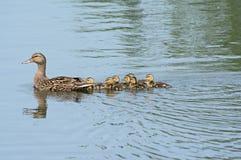 Mallard Family Swimming In A Pond Stock Photo