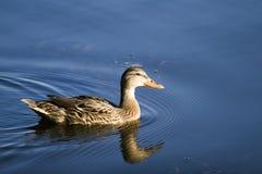 Female Mallard swimming in blue waters stock image