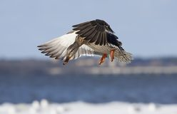 Mallard female - Anas platyrhynchos in flight over the Ottawa river Royalty Free Stock Photography