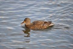 Mallard Female. (Anas Platyrhynchos) on IOR lake in Bucharest Stock Photos