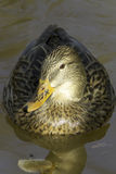 Mallard female / Anas platyrhynchos Royalty Free Stock Photos