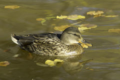 Mallard female / Anas platyrhynchos Stock Photo