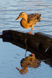 Mallard. Female mallard (Anas platyrhynchos) stretching on top of a sunken boat Royalty Free Stock Photos