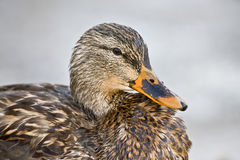 Mallard Female - Close up. Mallard Female Close up portrait Stock Photo