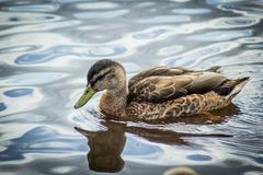 Mallard female duck on the canal. On a warm sunny day stock images