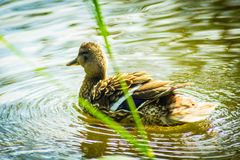 Mallard female duck on the canal. On a warm sunny day stock image