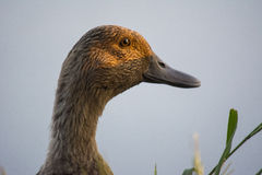 Mallard Female Duck Close Up. Duck with brown feathers looking into the sun Stock Image