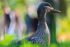 Mallard. Female mallard duck in the grass in the sun in an urban park in spring Stock Photography