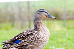 Mallard female duck. Near water Royalty Free Stock Images