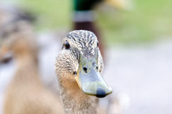Mallard female duck. Near water Stock Image