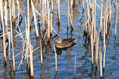 Mallard female duck. Duck swimming in a pond Royalty Free Stock Image